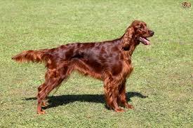 irish setter dog breed information buying advice photos and