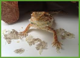can bearded dragons eat their shedded skin best beard 2017