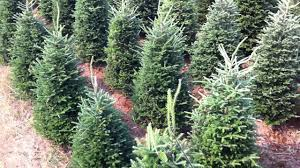 Christmas Tree Species For by Fraser Fir Christmas Trees Shearing Downey Trees Downeytrees Com
