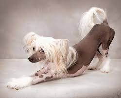 Do Hypoallergenic Dogs Shed As Puppies by Hypoallergenic Dog Breeds And