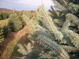 Types Of Christmas Trees To Plant by About Our Christmas Trees Evergreen Valley Christmas Tree Farm