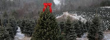 Frasier Christmas Tree Cutting by Nc Christmas Tree Christmas Tree Farms In Nc