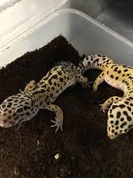 Do Leopard Geckos Shed by Leopard Geckos Archives Backwater Reptiles Blog