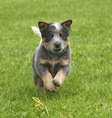 stop blue heeler shedding information on blue heeler dogs