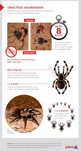 Do Tarantulas Shed Their Legs by Choosing A Pet Tarantula How To Care For These Unique Pets