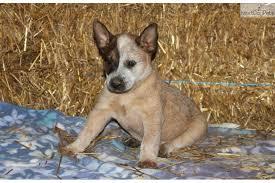 do blue heelers shed 49 images do blue heeler dogs shed dog