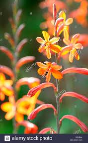 watsonia watsonia stanford scarlet in nature bulb