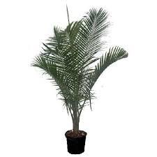 palmier majesty des pots de fleurs pots de