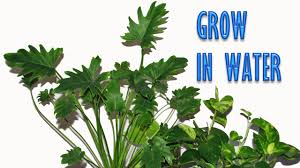 Best Pot Plant For Bathroom by Grow Indoor Plants In Water For Years Youtube