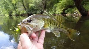 Pumpkin Seed Sunfish Pictures by Georgia Fishing Report Aug 27 2015 U2013 Georgia Wildlife Resources