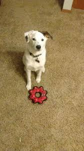 Borador puppy Border collie lab mix