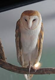 Pictures And Information On Barn Owl Barn Owl Outdoor Alabama Owl Wikipedia Trust On Twitter Cservation Handbook A Wednesday Birdnation Wirral Home Facebook Audubon Field Guide Review Course By Martin Oconnor Arbtech Legal Status The Rspb Eastern Singapore Birds Project Barnowltrust Owls Owls Of The Niagara Region
