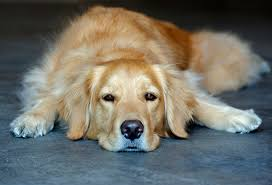 30 Dog Breeds That Shed The Most by Golden Retriever Dog Breed Information Pictures Characteristics