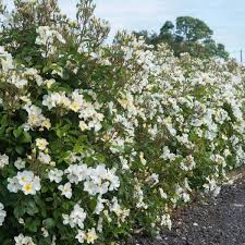 Old Fashioned Flowering Shrubs
