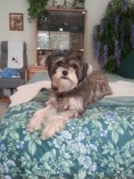 Do Morkies Shed A Lot by Dog Adoptions Las Vegas Heaven Can Wait Animal Society