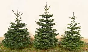 Silver Tip Christmas Tree Bay Area by Christmas Trees At Bawtry Forest Doncaster Yorkshire And Botany