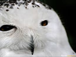 Bird Wallpapers - The BackYard Naturalist   The BackYard Naturalist Texas Backyard Naturalist Butterflies North Potomac Valley Audubon Society Pvas Habitats Bird Wallpapers The Backyard Bedroom Licious House Pool Ideas Best Pools Home Giles Frontier Brisbane Gum Trees At My Place Eucalyptus Major Amazing Most Professors Wife Snowy Owl Shorteared Owl