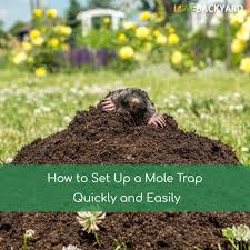 How To Set Up A Mole Trap Quickly And Easily (Last Updated: Dec, 2017) How To Get Rid Of Moles Organic Gardening Blog Cat Captures Mole In My Neighbors Backyard Youtube Animal Wikipedia Identify And In The Garden Or Yard Daily Home Renovation Tips Vs The Part 1 Damaging Our Lawn When Are Most Active Dec 2017 Uerstanding Their Behavior Mole Gassing Pests Get Correct Remedy Liftyles Sonic Molechaser Alinum Covers 11250 Sq Ft Model 7900