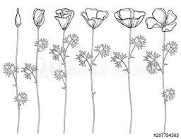 Vector Set With Outline California Poppy Flower Or Sunlight Eschscholzia Leaf Bud