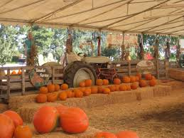 Pumpkin Patch With Petting Zoo by Tanaka Farms Pumpkin Patch Orange County Ca