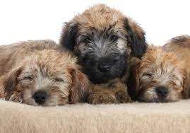 7 tips for taking care of your wheaten terrier puppies