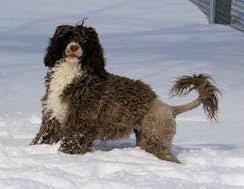 Portuguese Water Dog Non Shedding by Drewsar Portuguese Water Dog Info