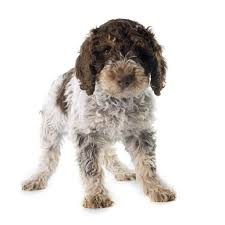 Portuguese Water Dog Shedding Problems by Portuguese Water Dog Dogs Breed Information Omlet