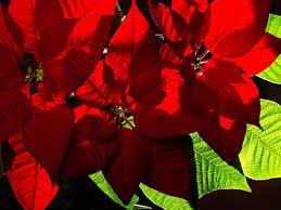 weihnachtsstern so bleibt er lange schön berlin de