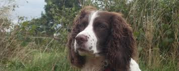 Springer Spaniel Shed Hunting by English Springer Spaniel Information Dog Breeds At Dogthelove