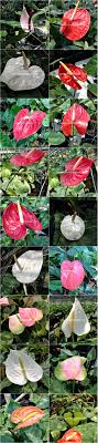 anthurium plant growing in a 6 pot for sale
