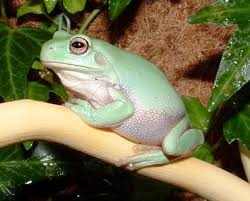 Do Aquatic Dwarf Frogs Shed Their Skin by Best Pet Frogs For Beginners Pethelpful