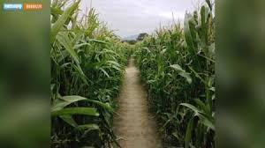 Indianapolis Pumpkin Patch Corn Maze by Corn Maze Axs