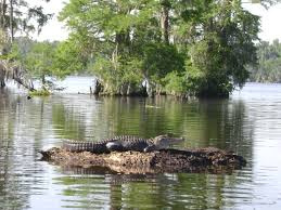 alligator bayou lake update louisiana bayou tour alligators i was surprised to see how beautiful the