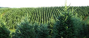 Fraser Fir Christmas Trees Nc by Wholesale Christmas Trees Fraser Ridge Nc Christmas Tree Farm