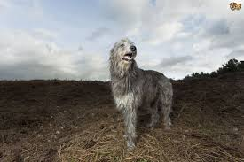 Irish Wolfhound Non Shedding by Deerhound Dog Breed Information Buying Advice Photos And Facts