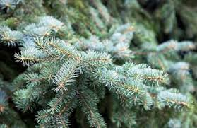 Christmas Tree Permits Colorado Springs by Christmas Tree Cutting Permits Available At Ranger District Office