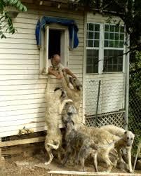 Irish Wolfhound Non Shedding by Ramblings Sunstag Irish Wolfhounds