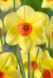 buy narcissus pipe major daffodil bulbs unwins seeds