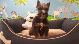 Do Giant Schnauzer Dogs Shed Hair by All About Miniature Schnauzers Puppy Plus