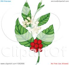 Clipart Coffee Plant With Berries And Flowers