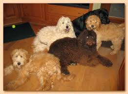 Small Non Shedding Dogs Australia by Southern Charm Labradoodles American And Australian Labradoodle