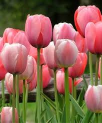 image result for canada 150 tulip bulbs plants