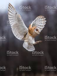 Beautiful Barn Owl Tyto Alba In Full Flight Stock Photo   IStock Barn Owl Tyto Alba 4 Months Old Flying Stock Photo Image Beauty Of Bird Our Barn Owl The Tea Rooms Chat Rspb Community A Flying At Folly Farm In Pembrokeshire West Wales Winter Spirit By Hontor On Deviantart Audubon Field Guide Vector 380339767 Shutterstock Wallpaper 12x800 Hunting A Royalty Free Tattoos Tattoo Ideas Proyectos Que Debo Ientar