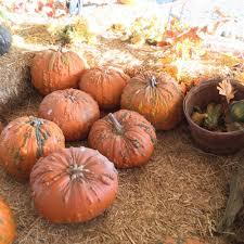 Hillcrest Farms Pumpkin Patch by Pumpkin Station 44 Photos U0026 31 Reviews Amusement Parks 5354