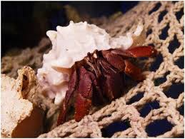 Do Hermit Crabs Shed Shell by 7 Reasons Why You Should Never Buy A Hermit Crab Peta