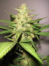 fin de floraison cannabis exterieur culture de cannabis à floraison automatique du growshop