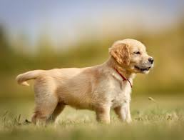 Why Do Puggles Shed So Much by The Best And Worst Puppies For Kids Simply For Dogs
