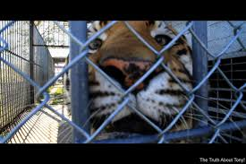 Tiger Truck Stop Celebrates National Truck Driver Appreciation ... Shocking Tiger Truck Stop Commercial Youtube New Photos Of 72011 Courtesy M Haik Free Stop Owner Plans To Pursue Another Tiger Stuff Tony For Stops Controversial Mascot Put Rest At The Yes There Really Is A The Stoplive Gas Station Louisiana Famous 2017 September 28 2015 2 Police Truck Carrying Skins From Buddhist Temple Keep Roaring For A Dodo Community Page Is Here Stay Vice