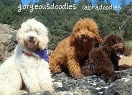 Small Non Shedding Dogs Australia by Labradoodle Puppies Gorgeous Doodles Australian Labradoodle