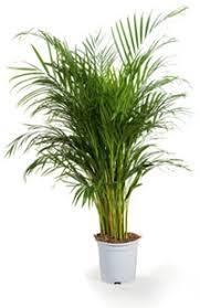 areca un palmier d intérieur facile à vivre